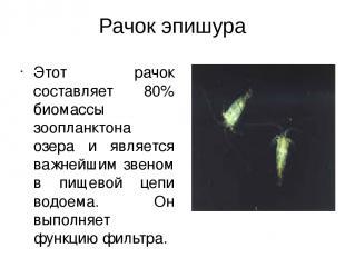 Рачок эпишура Этот рачок составляет 80% биомассы зоопланктона озера и является в