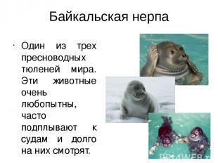 Байкальская нерпа Один из трех пресноводных тюленей мира. Эти животные очень люб
