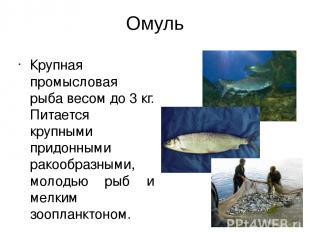 Омуль Крупная промысловая рыба весом до 3 кг. Питается крупными придонными ракоо