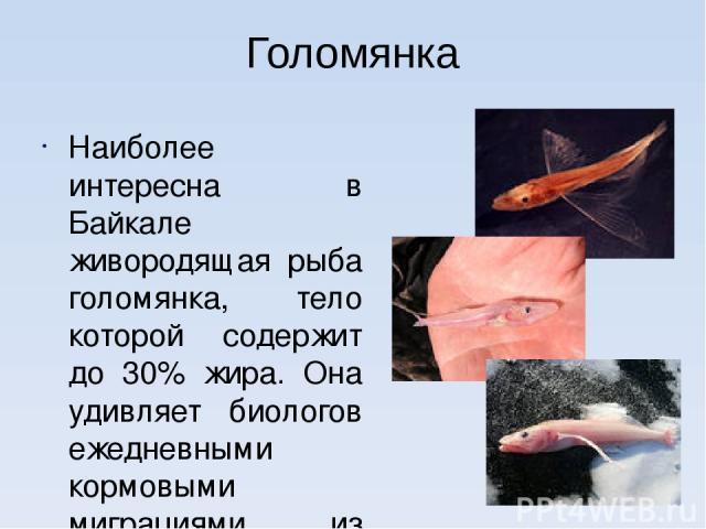 Голомянка Наиболее интересна в Байкале живородящая рыба голомянка, тело которой содержит до 30% жира. Она удивляет биологов ежедневными кормовыми миграциями из глубин на мелководье.