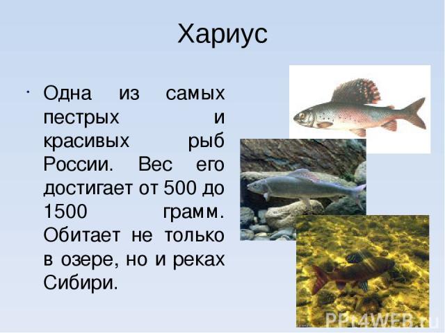 Хариус Одна из самых пестрых и красивых рыб России. Вес его достигает от 500 до 1500 грамм. Обитает не только в озере, но и реках Сибири.