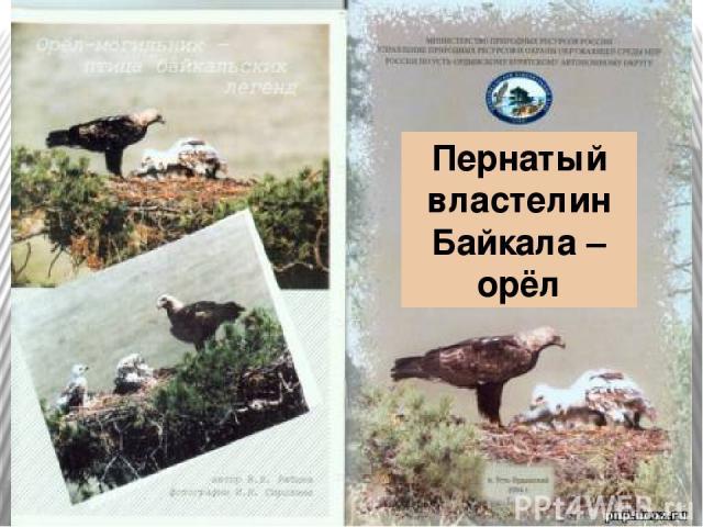 Пернатый властелин Байкала – орёл