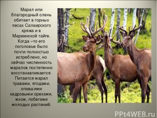 Марал или благородный олень обитает в горных лесах Салаирского кряжа и в Мариинс