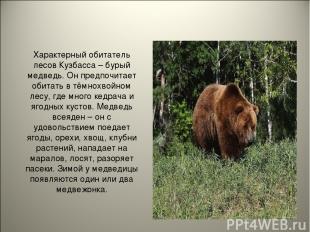 Характерный обитатель лесов Кузбасса – бурый медведь. Он предпочитает обитать в