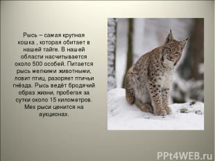 Рысь – самая крупная кошка , которая обитает в нашей тайге. В нашей области насч