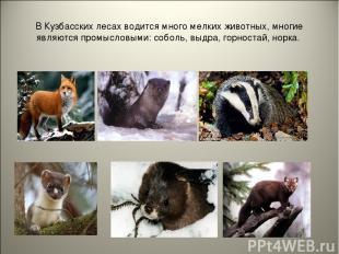 В Кузбасских лесах водится много мелких животных, многие являются промысловыми: