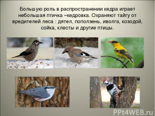 Большую роль в распространении кедра играет небольшая птичка –кедровка. Охраняют