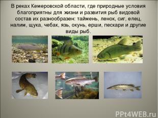 В реках Кемеровской области, где природные условия благоприятны для жизни и разв