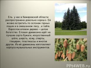 Ель у нас в Кемеровской области распространена довольно хорошо. Её можно встрети