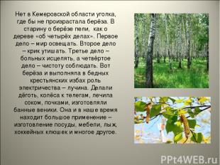 Нет в Кемеровской области уголка, где бы не произрастала берёза. В старину о бер