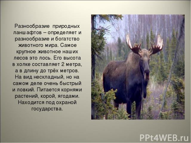 Разнообразие природных ланшафтов – определяет и разнообразие и богатство животного мира. Самое крупное животное наших лесов это лось. Его высота в холке составляет 2 метра, а в длину до трёх метров. На вид нескладный, но на самом деле очень быстрый …
