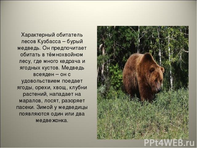 Характерный обитатель лесов Кузбасса – бурый медведь. Он предпочитает обитать в тёмнохвойном лесу, где много кедрача и ягодных кустов. Медведь всеяден – он с удовольствием поедает ягоды, орехи, хвощ, клубни растений, нападает на маралов, лосят, разо…