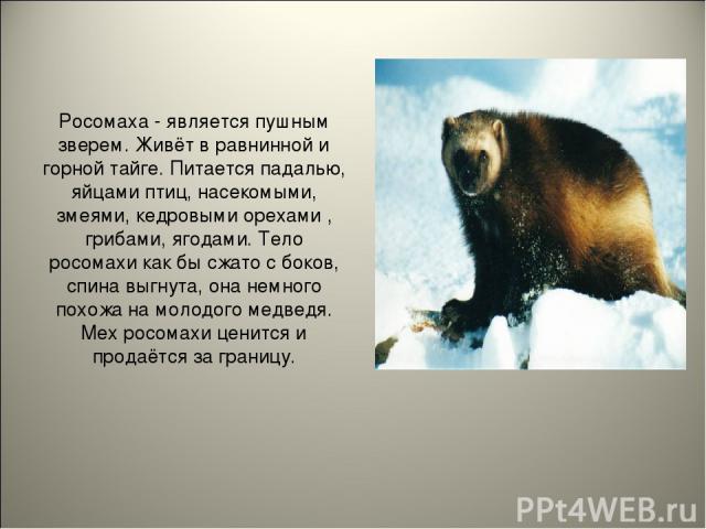 Росомаха - является пушным зверем. Живёт в равнинной и горной тайге. Питается падалью, яйцами птиц, насекомыми, змеями, кедровыми орехами , грибами, ягодами. Тело росомахи как бы сжато с боков, спина выгнута, она немного похожа на молодого медведя. …