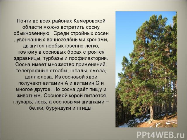 Почти во всех районах Кемеровской области можно встретить сосну обыкновенную. Среди стройных сосен , увенчанных вечнозелёными кронами, дышится необыкновенно легко, поэтому в сосновых борах строятся здравницы, турбазы и профилактории. Сосна имеет мно…