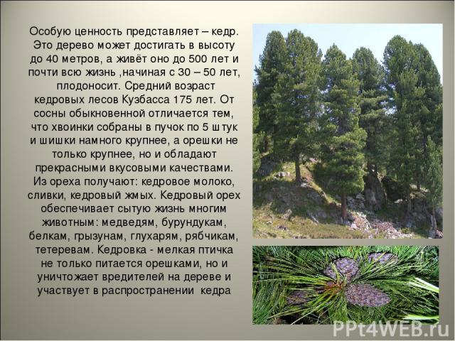 Особую ценность представляет – кедр. Это дерево может достигать в высоту до 40 метров, а живёт оно до 500 лет и почти всю жизнь ,начиная с 30 – 50 лет, плодоносит. Средний возраст кедровых лесов Кузбасса 175 лет. От сосны обыкновенной отличается тем…