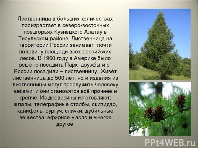 Лиственница в больших количествах произрастает в северо-восточных предгорьях Кузнецкого Алатау в Тисульском районе. Лиственница на территории России занимает почти половину площади всех российских лесов. В 1960 году в Америке было решено посадить Па…