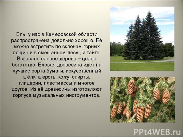 Ель у нас в Кемеровской области распространена довольно хорошо. Её можно встретить по склонам горных лощин и в смешанном лесу , и тайге. Взрослое еловое дерево – целое богатство. Еловая древесина идёт на лучшие сорта бумаги, искусственный шёлк, шерс…