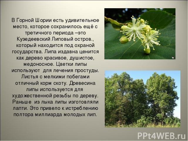 В Горной Шории есть удивительное место, которое сохранилось ещё с третичного периода –это Кузедеевский Липовый остров., который находится под охраной государства. Липа издавна ценится как дерево красивое, душистое, медоносное. Цветки липы используют…