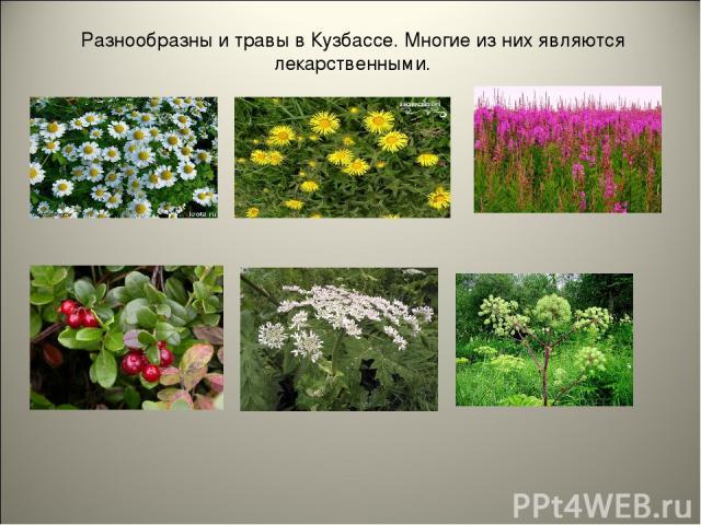 Разнообразны и травы в Кузбассе. Многие из них являются лекарственными.