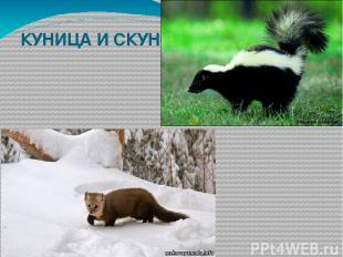 КУНИЦА И СКУНС