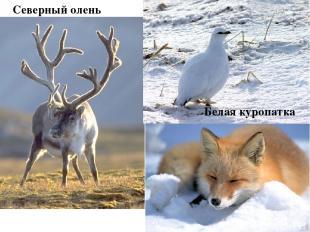 Северный олень Белая куропатка