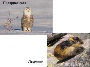 Полярная сова Лемминг