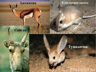 Антилопа Сайгак Тушканчик Кенгуровая крыса
