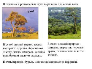 В саваннах и редколесьях ярко выражены два сезона года: сухой влажный В сухой зи