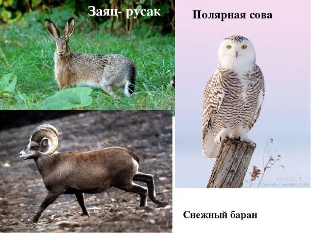 Заяц- русак Полярная сова Снежный баран