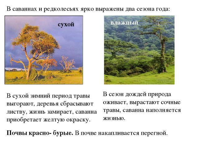В саваннах и редколесьях ярко выражены два сезона года: сухой влажный В сухой зимний период травы выгорают, деревья сбрасывают листву, жизнь замирает, саванна приобретает желтую окраску. В сезон дождей природа оживает, вырастают сочные травы, саванн…