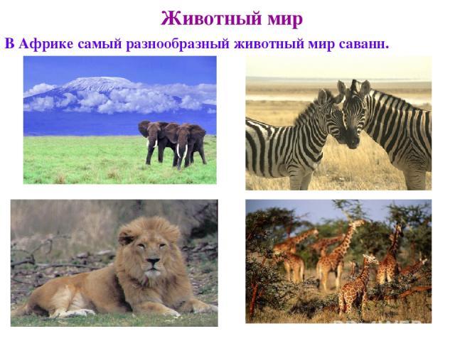 Животный мир В Африке самый разнообразный животный мир саванн.