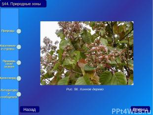 Рис. 56. Хинное дерево Назад Вперед §44. Природные зоны Природа Население и стра