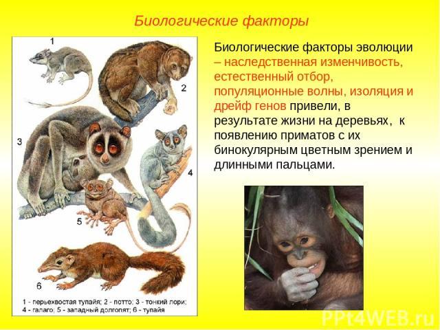 Биологические факторы Биологические факторы эволюции – наследственная изменчивость, естественный отбор, популяционные волны, изоляция и дрейф генов привели, в результате жизни на деревьях, к появлению приматов с их бинокулярным цветным зрением и дли…
