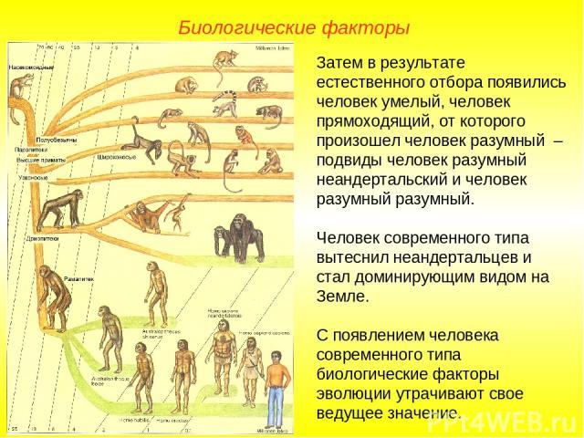 Затем в результате естественного отбора появились человек умелый, человек прямоходящий, от которого произошел человек разумный – подвиды человек разумный неандертальский и человек разумный разумный. Человек современного типа вытеснил неандертальцев …