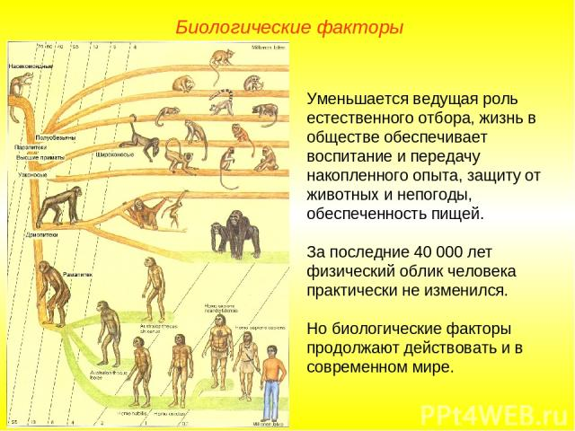 Уменьшается ведущая роль естественного отбора, жизнь в обществе обеспечивает воспитание и передачу накопленного опыта, защиту от животных и непогоды, обеспеченность пищей. За последние 40000 лет физический облик человека практически не изменился. Н…