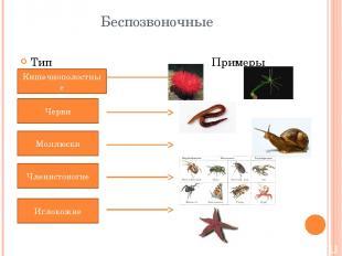 Беспозвоночные Тип Примеры Кишечнополостные Черви Моллюски Членистоногие Иглокож