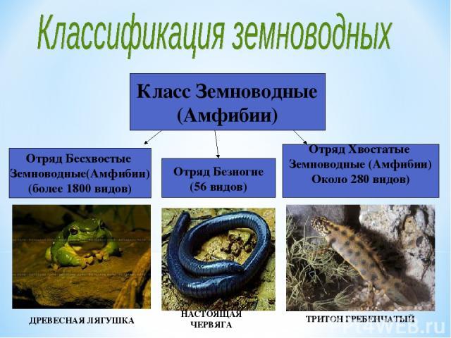 Класс Земноводные (Амфибии) Отряд Бесхвостые Земноводные(Амфибии) (более 1800 видов) Отряд Хвостатые Земноводные (Амфибии) Около 280 видов) Отряд Безногие (56 видов) НАСТОЯЩАЯ ЧЕРВЯГА ТРИТОН ГРЕБЕНЧАТЫЙ ДРЕВЕСНАЯ ЛЯГУШКА