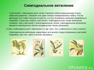 Симподиальное ветвление У растений с симподиальным типом строения побега верхуше