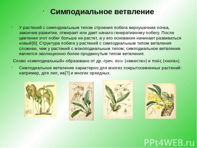 Симподиальное ветвление У растений с симподиальным типом строения побега верхушечнаяпочка, закончив развитие, отмирает или дает начало генеративному побегу. После цветения этот побег больше не растет, а у его основания начинает развиваться новый[6]…