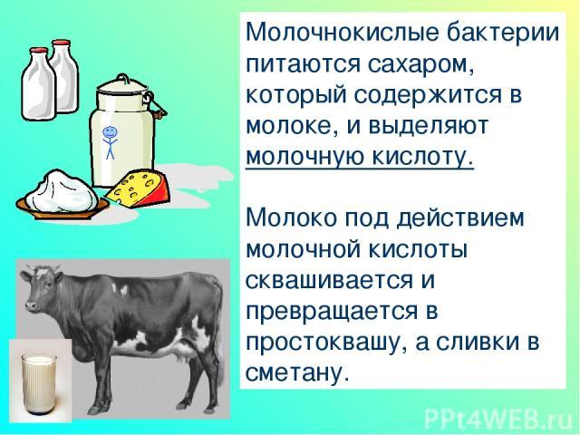 Молочнокислые бактерии питаются сахаром, который содержится в молоке, и выделяют молочную кислоту. Молоко под действием молочной кислоты сквашивается и превращается в простоквашу, а сливки в сметану.