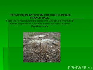 ТРЁХБОРОДНИК КИТАЙСКИЙ (TRIPOGON CHINENSIS (FRANCH) HACK) Растение из многовидов