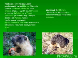Тарбага н, или монго льский (сиби рский) суро к[1] (лат.Marmota sibirica)— мле