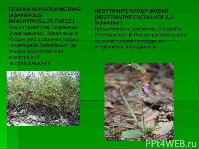 СПАРЖА КОРОТКОЛИСТНАЯ (ASPARAGUS BRACHYPHYLLUS TURCZ.)  Вид из семейства Cпаржевые (Asparagaceae). Ареал вида в России узко ограничен только территорией Забайкалья, где спаржа коротколистная известна из 5 местонахождений НЕОТТИАНТЕ КЛОБУЧКОВАЯ (NEO…