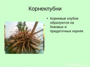 Корнеклубни Корневые клубни образуются на боковых и придаточных корнях