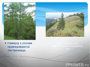 Наверху к соснам примешивается лиственница Выше границы леса располагаются остеп