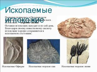 Ископаемые иглокожие Первыми появились в Ордовикском периоде и стали родоначальн