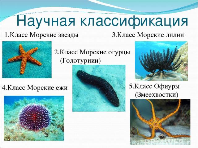 Научная классификация 1.Класс Морские звезды 5.Класс Офиуры (Змеехвостки) 2.Класс Морские огурцы (Голотуриии) 3.Класс Морские лилии 4.Класс Морские ежи