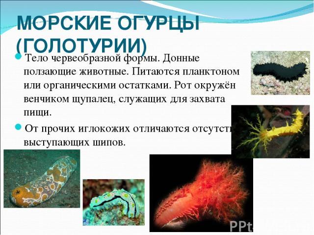 МОРСКИЕ ОГУРЦЫ (ГОЛОТУРИИ) Тело червеобразной формы. Донные ползающие животные. Питаются планктоном или органическими остатками. Рот окружён венчиком щупалец, служащих для захвата пищи. От прочих иглокожих отличаются отсутствием выступающих шипов.