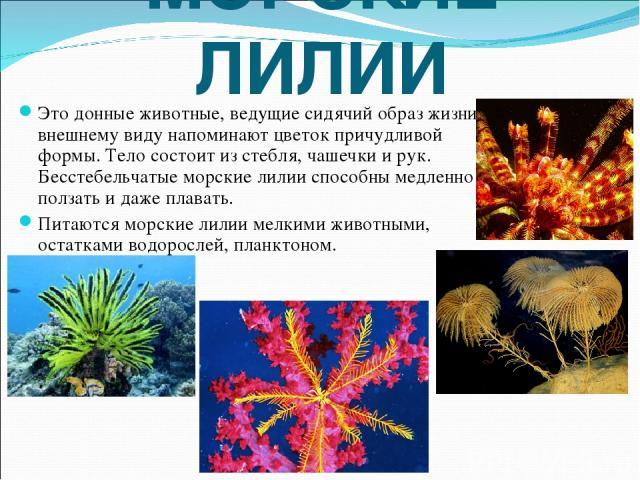 МОРСКИЕ ЛИЛИИ Это донные животные, ведущие сидячий образ жизни. внешнему виду напоминают цветок причудливой формы. Тело состоит из стебля, чашечки и рук. Бесстебельчатые морские лилии способны медленно ползать и даже плавать. Питаются морские лилии …