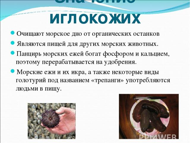 Значение иглокожих Очищают морское дно от органических останков Являются пищей для других морских животных. Панцирь морских ежей богат фосфором и кальцием, поэтому перерабатывается на удобрения. Морские ежи и их икра, а также некоторые виды голотури…